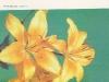 Щитковидное соцветие