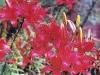 Лилия Красный Зонтик
