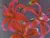 Лилия Розовая Прима