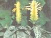 Афеляндра оттопыренная