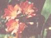 Кливия сурикоцветная