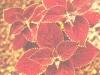 Колеус Блюма с алыми листьями