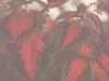Колеус Блюма с красно-зелеными листьями