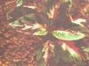 Колеус Блюма с пестрыми листьями